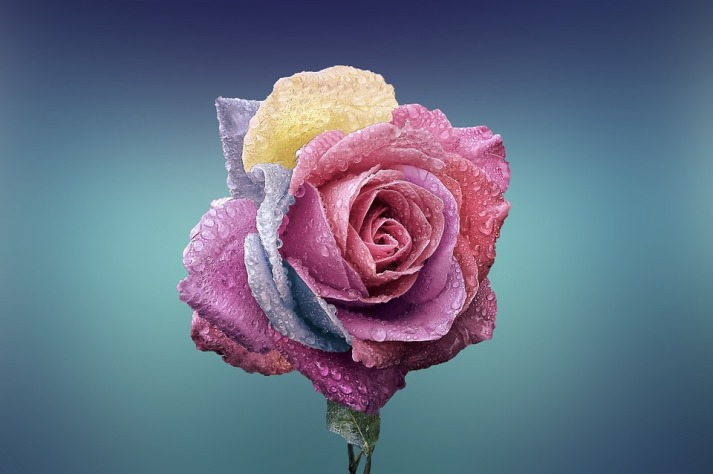 rose-729509_960_720